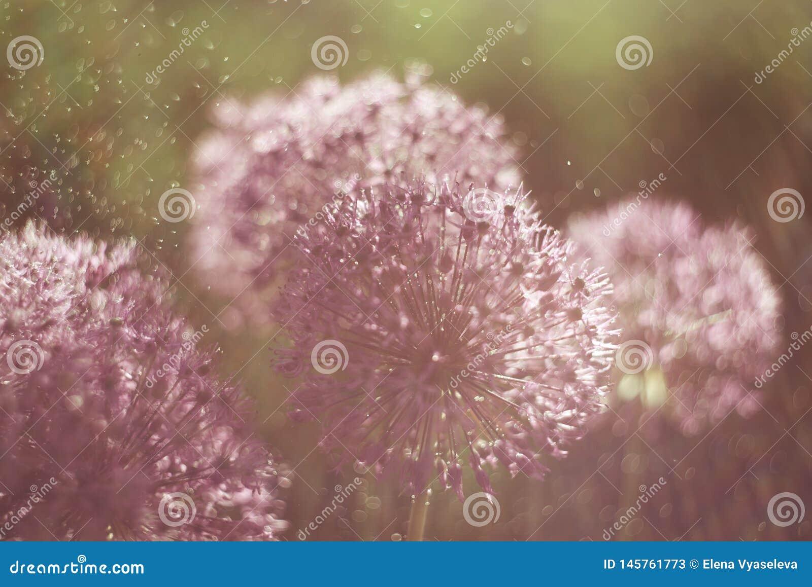 A flor de Alium com ?gua da sagacidade da estrutura da flor do dente-de-le?o deixa cair Macro Foco macio Profundidade de campo ra