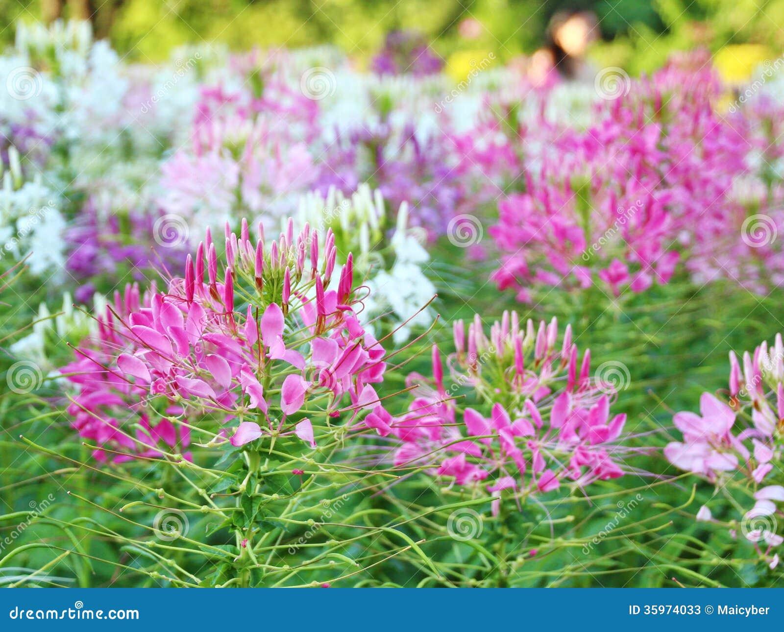 Flor de araña - spinosa del Cleome