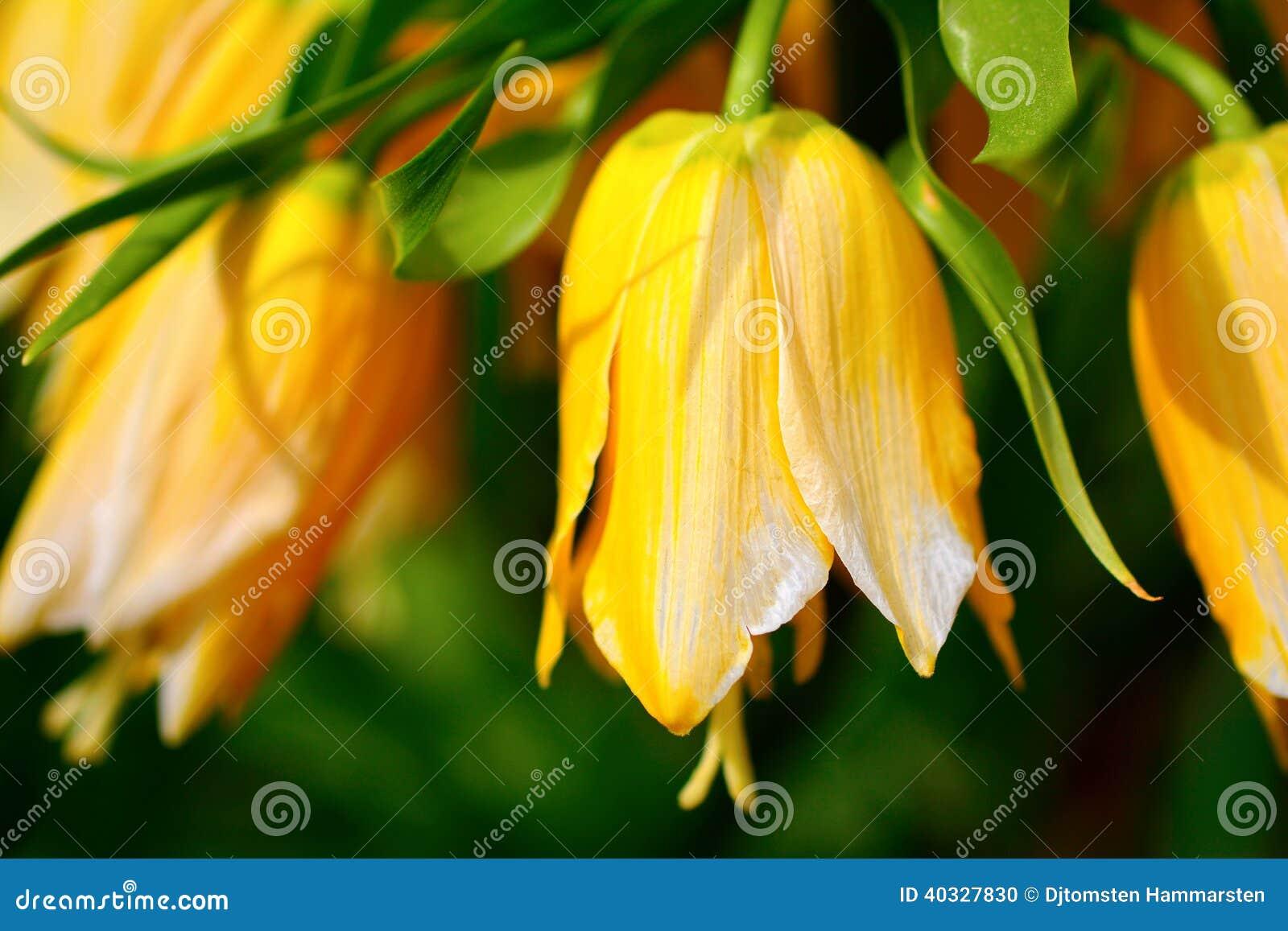Flor de Bell amarilla