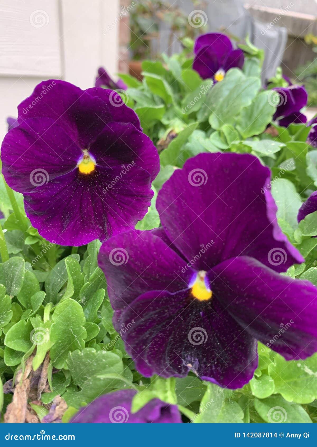Flor de borboleta