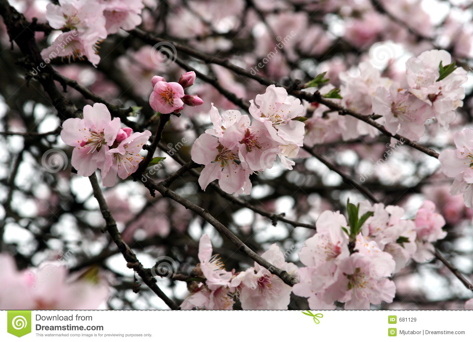Flor de cereja - mola