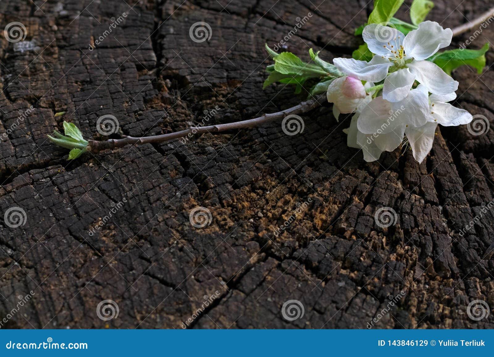 Flor de cerejeira branca da mola na tabela de madeira rústica marrom A primavera floresce no fundo do vintage com lugar para o te