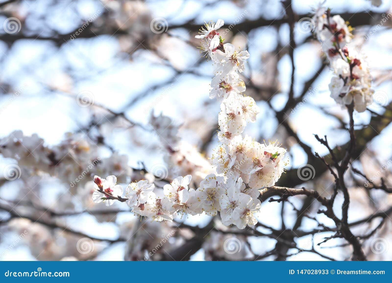 Flor de cerejeira na mola