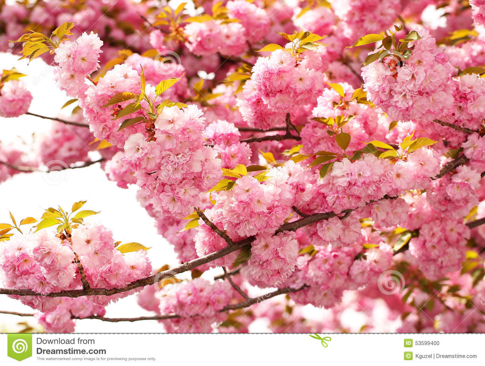 flor de cerejeira na primavera flores corderosa sakura foto de stock