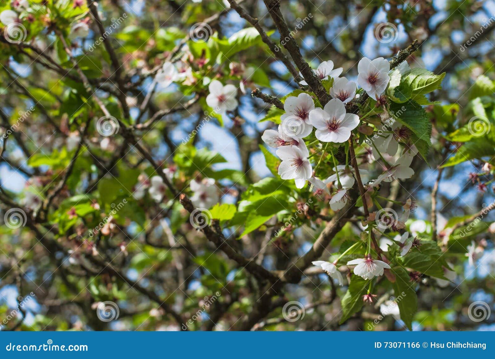 Flor de cereza blanco