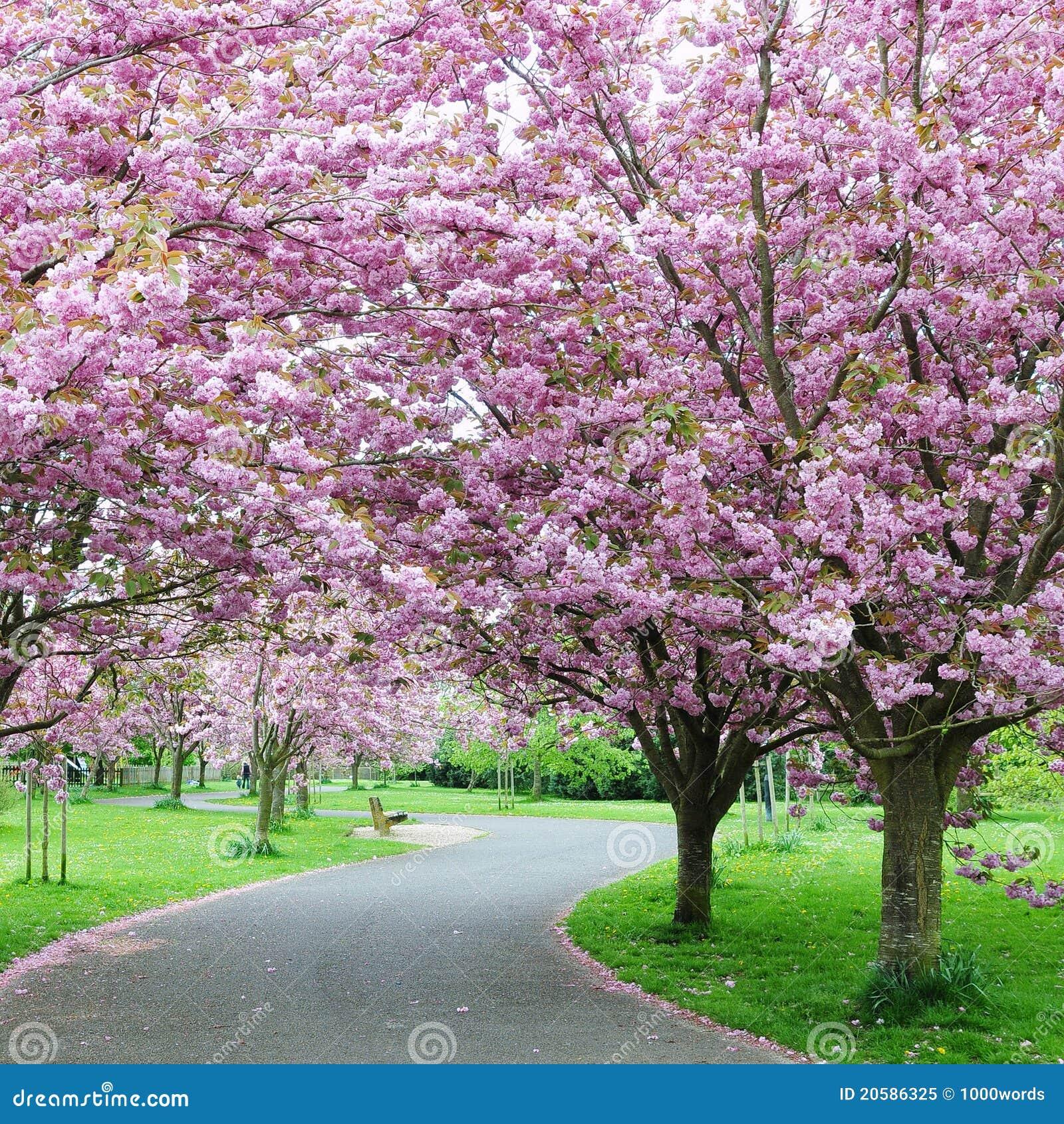 Flor de cereza en un jardín