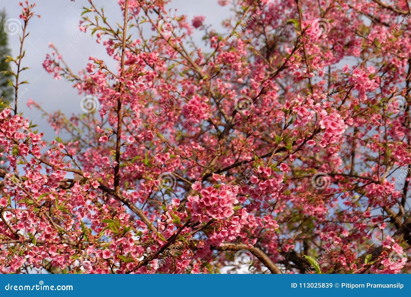 Flor de cerezo hermosa Sakura en tiempo de primavera sobre el cielo azul
