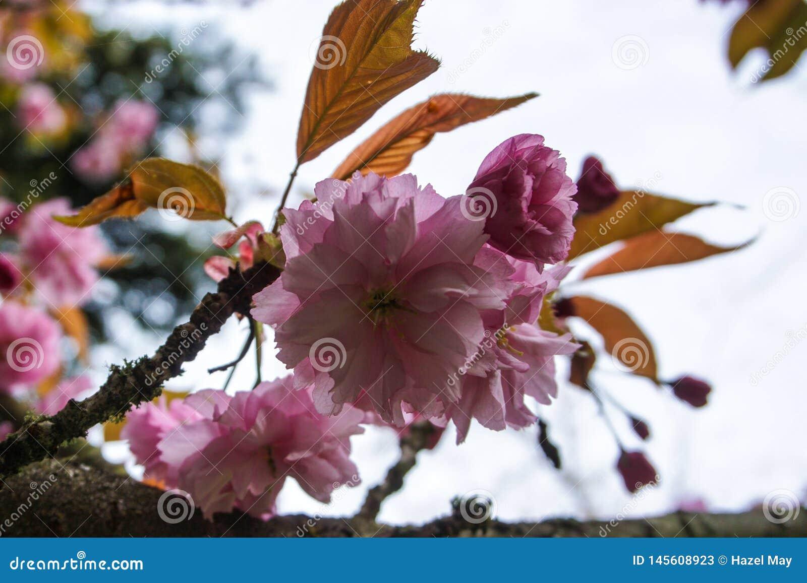 Flor de cerezo rosada en un árbol