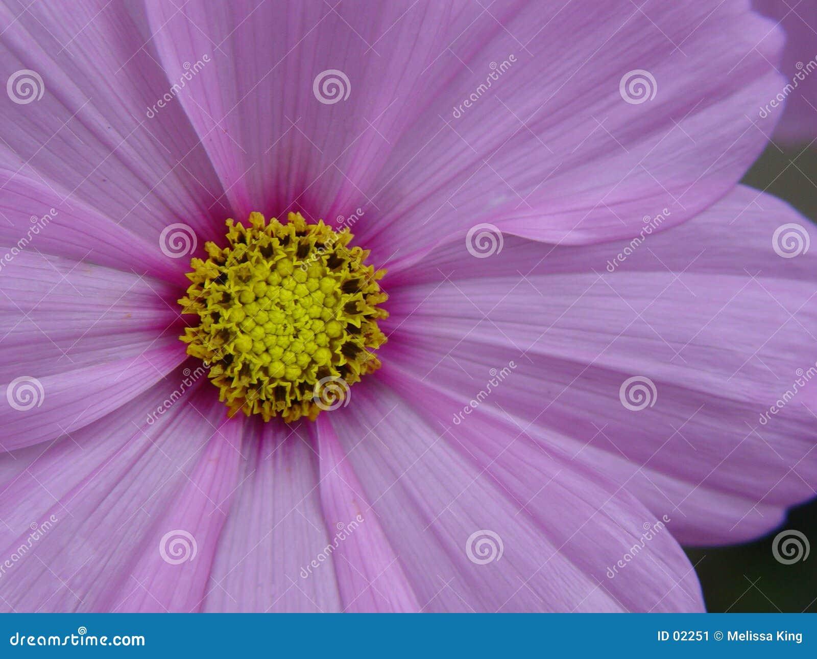 Flor de Cosmo