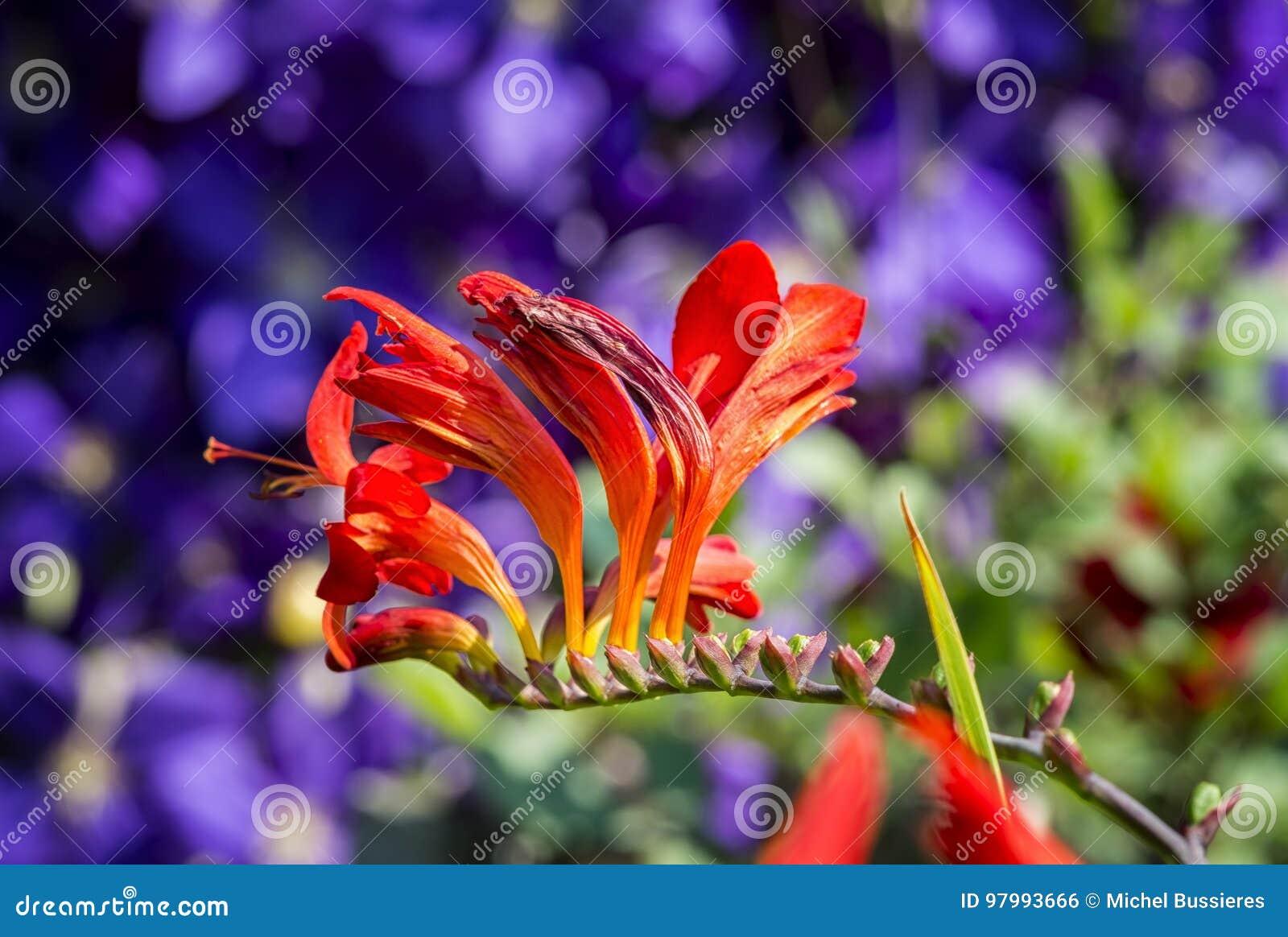 Flor de Crocosmia