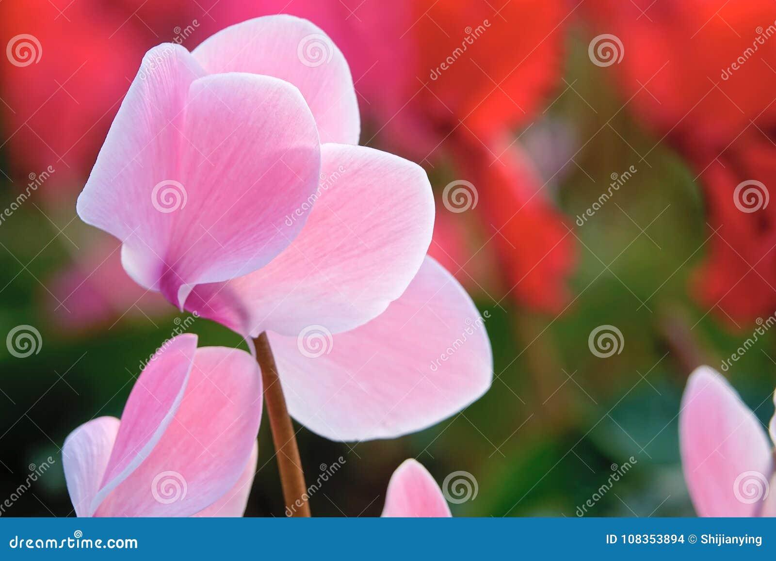 Flor de Cyclamen