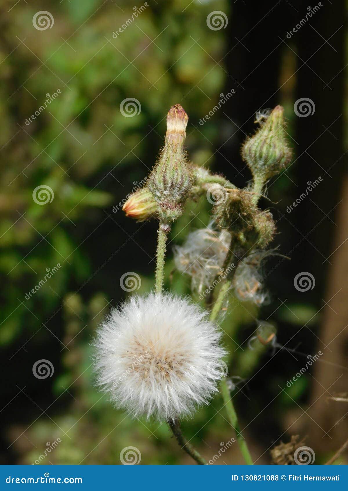 Flor de Dendelion