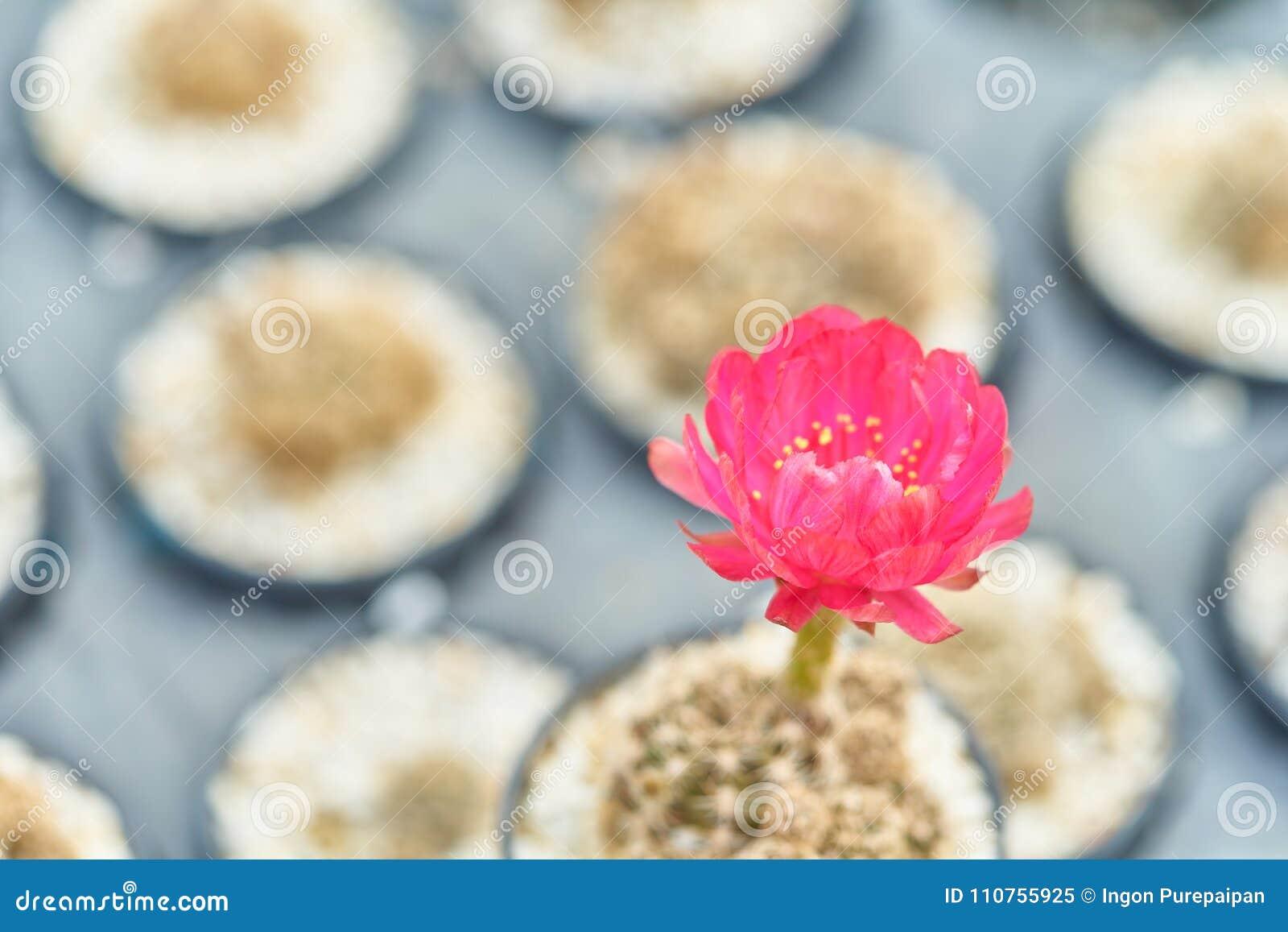 Flor de florescência bonita do cacto do deserto no potenciômetro no jardim, foco seletivo do cacto de florescência da flor vermel