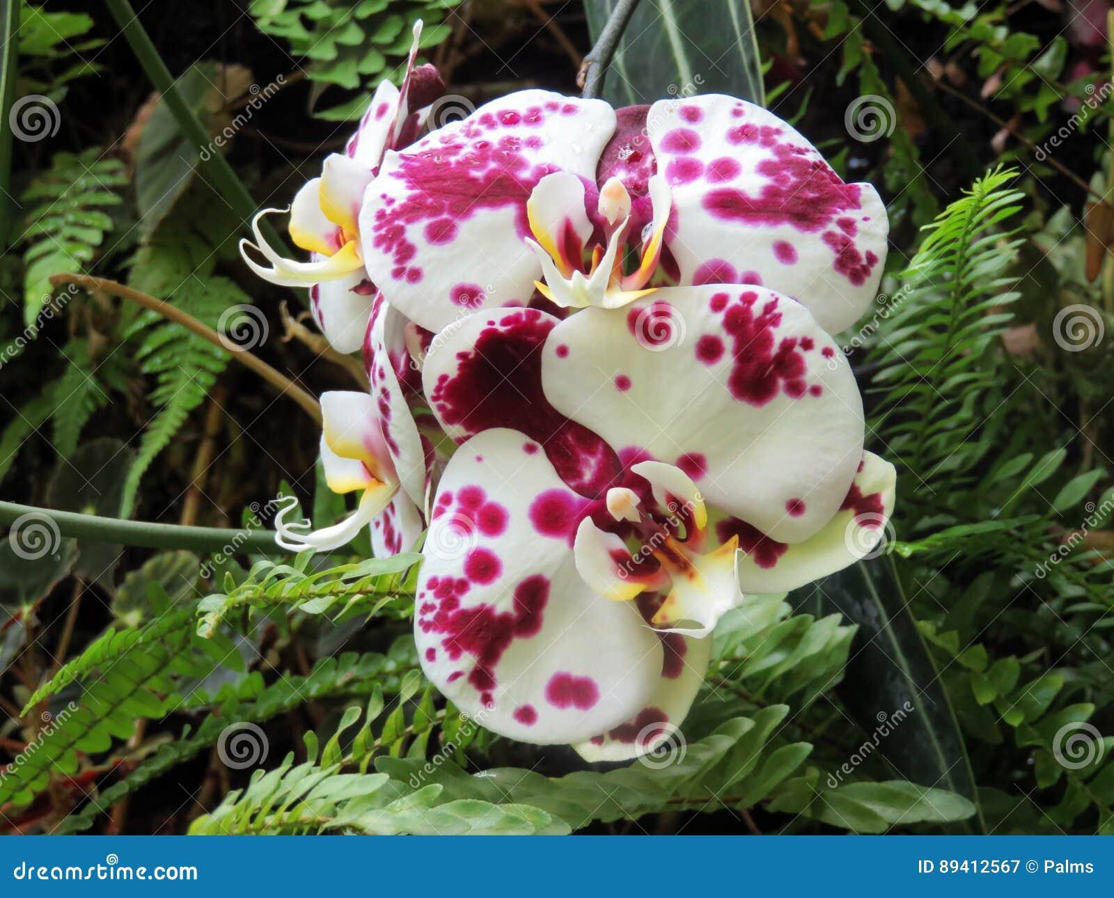 Flor de florescência da orquídea