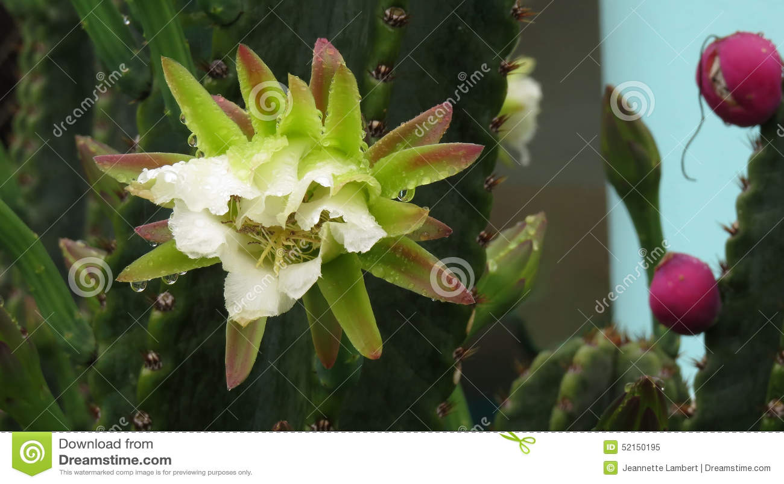 Flor de florescência do cacto da noite na chuva