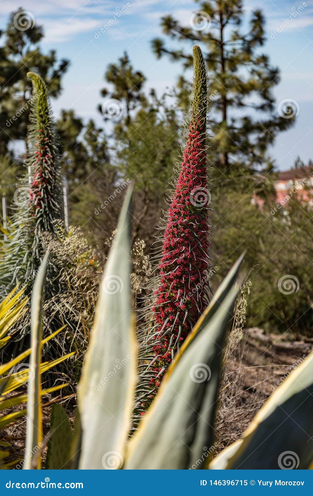 Flor de florescência de Tajinaste Vilaflor, Tenerife, Ilhas Canárias