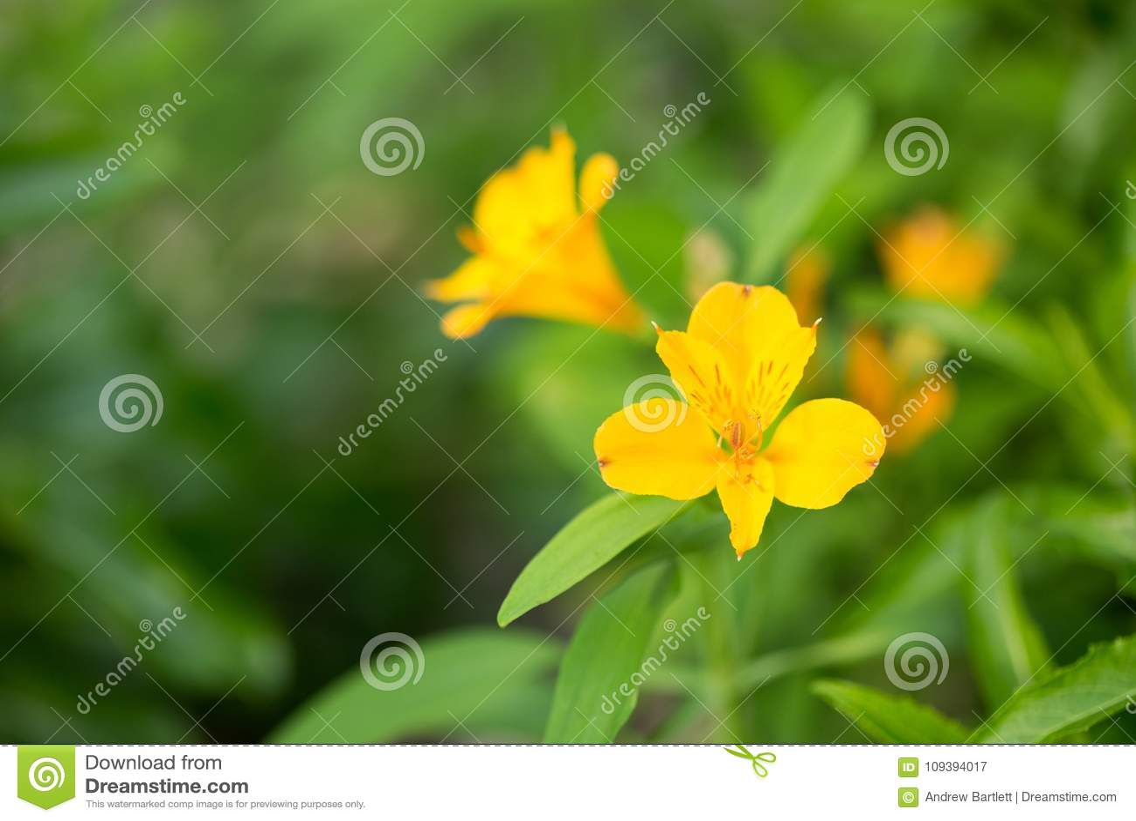 Flor de Habranthus Brachyandrus en la floración