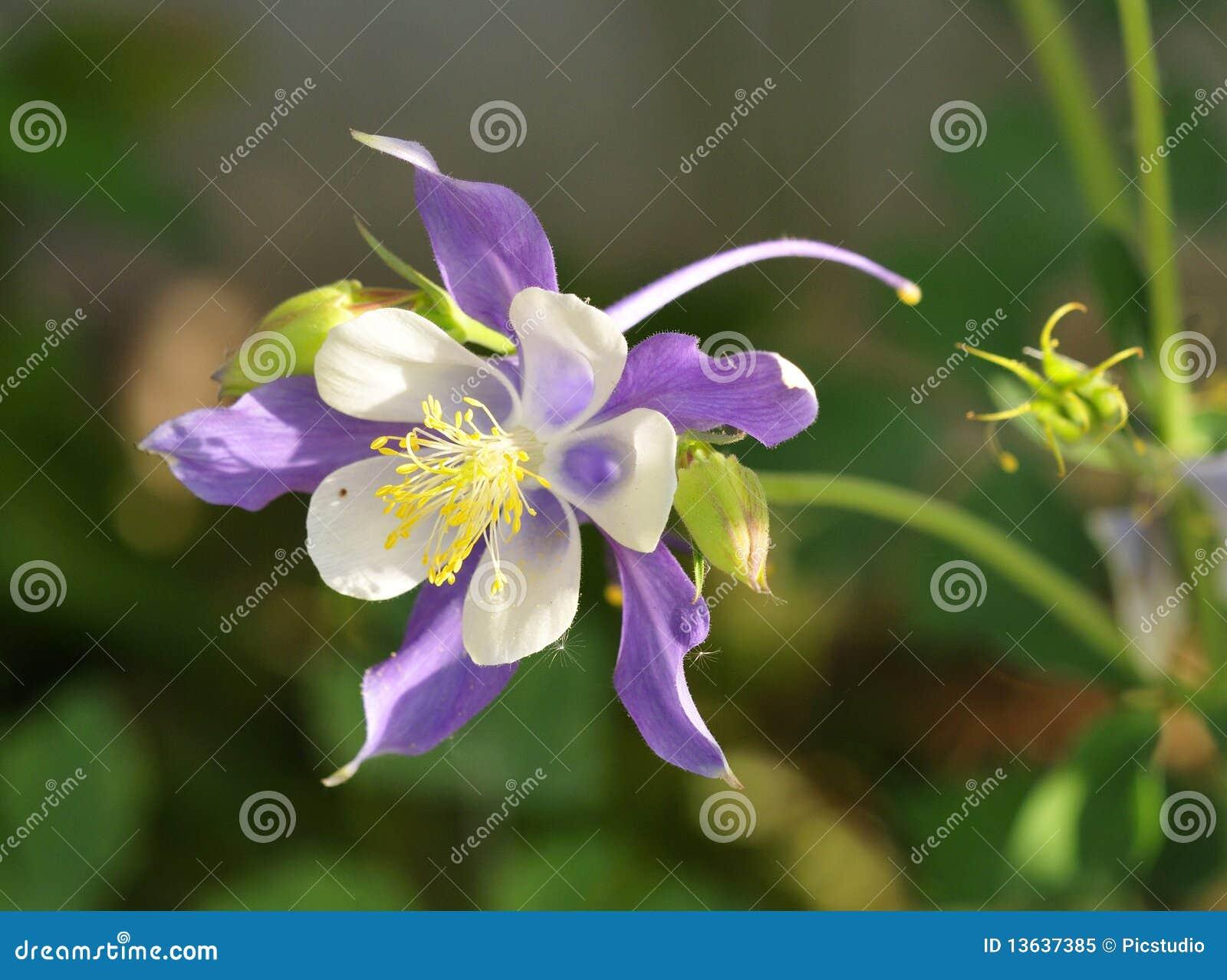 Flor de hadas