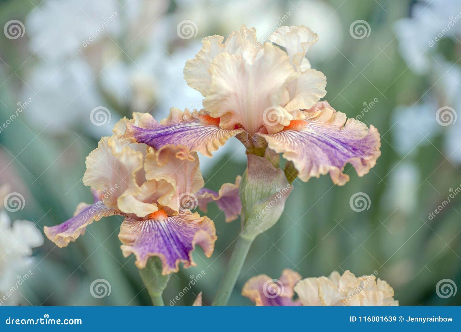 Flor de Iris Carnival da cor