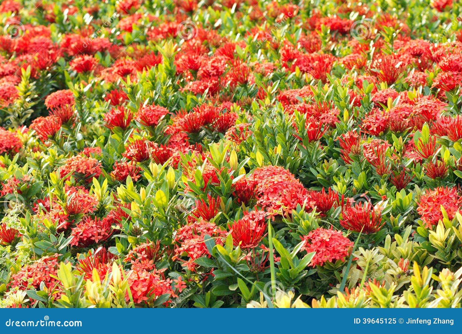 Flor de Ixora