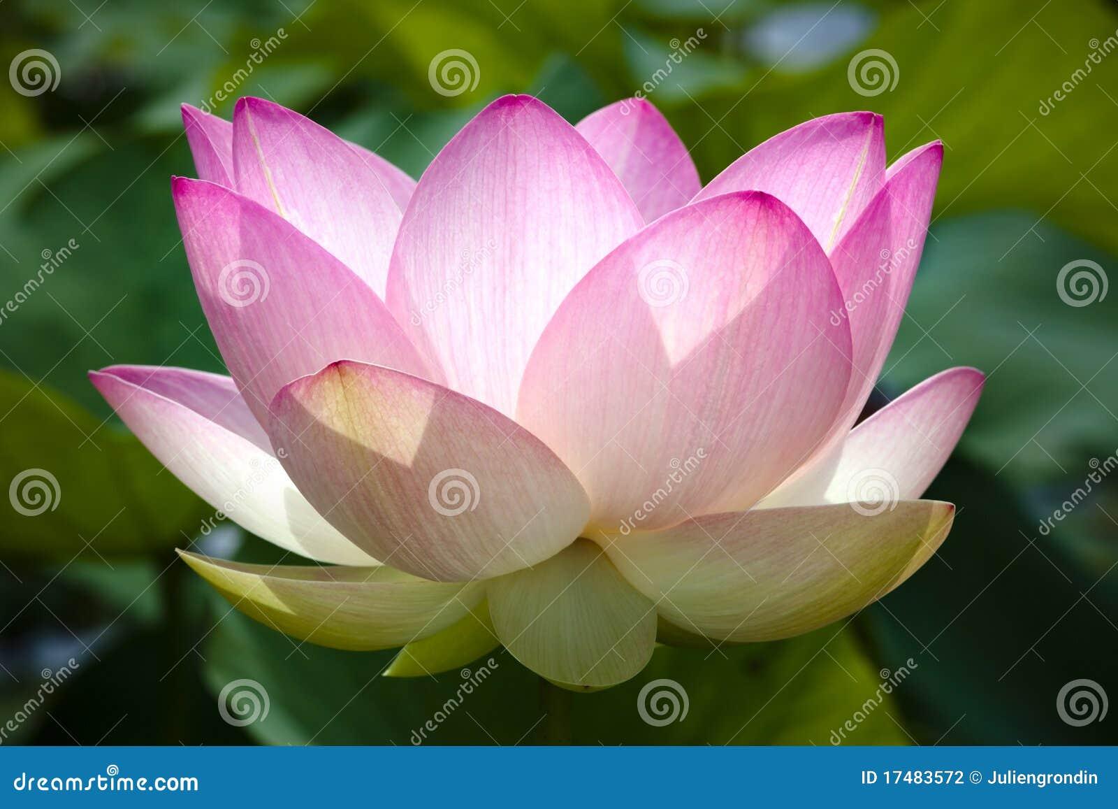 Flor de lótus cor-de-rosa na flor