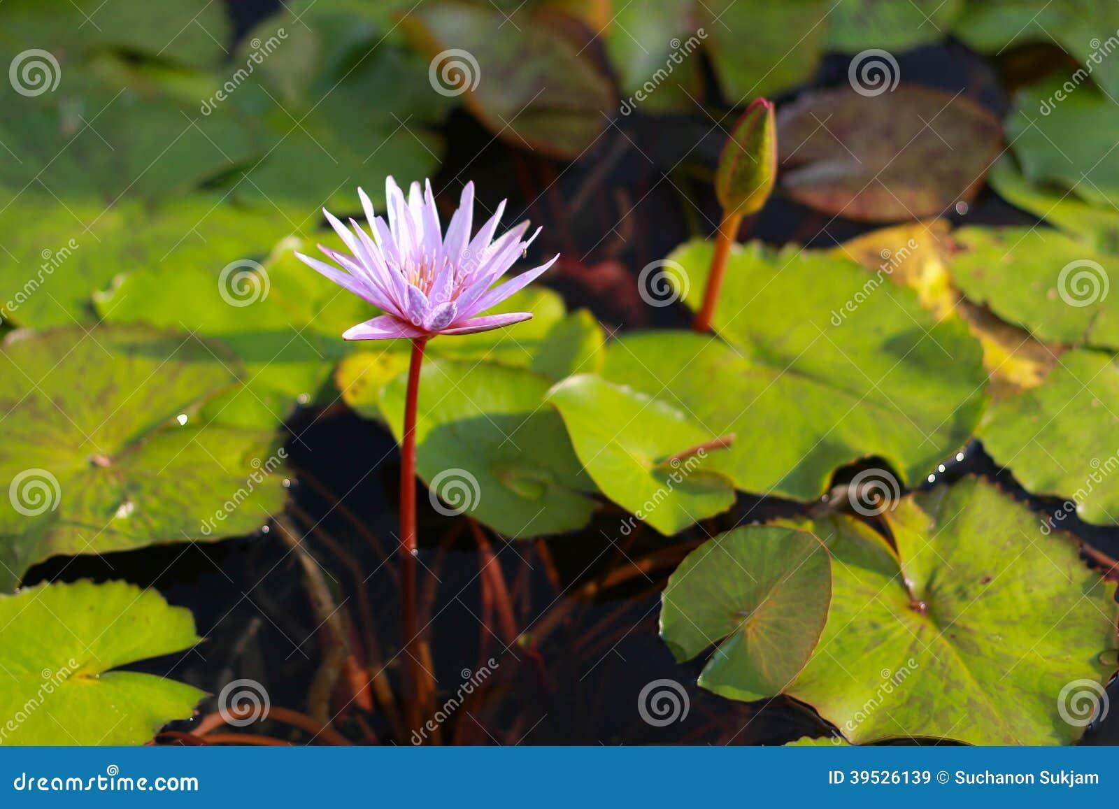 Flor de lótus cor-de-rosa que floresce na associação