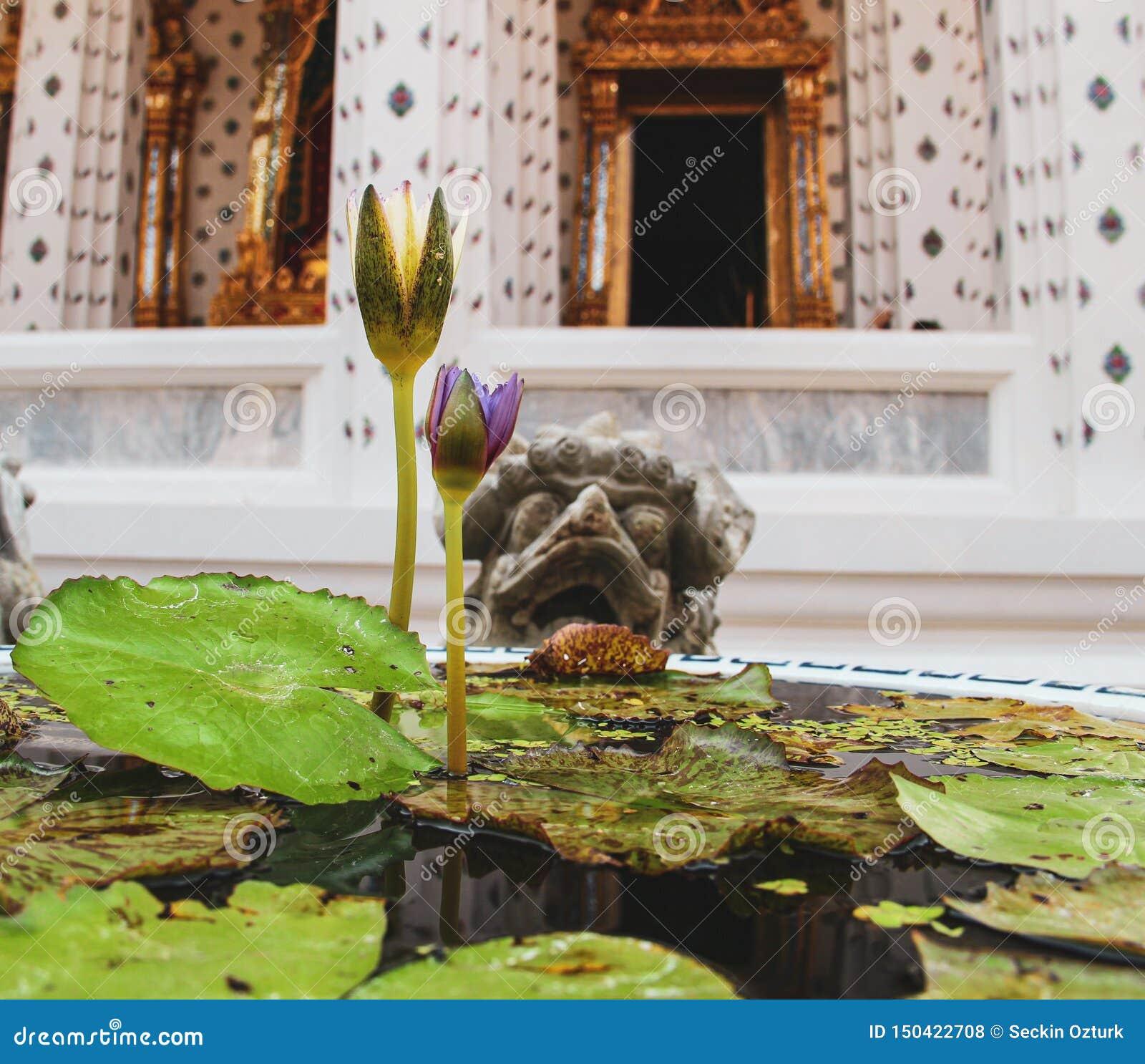 Flor de lótus de florescência no templo budista