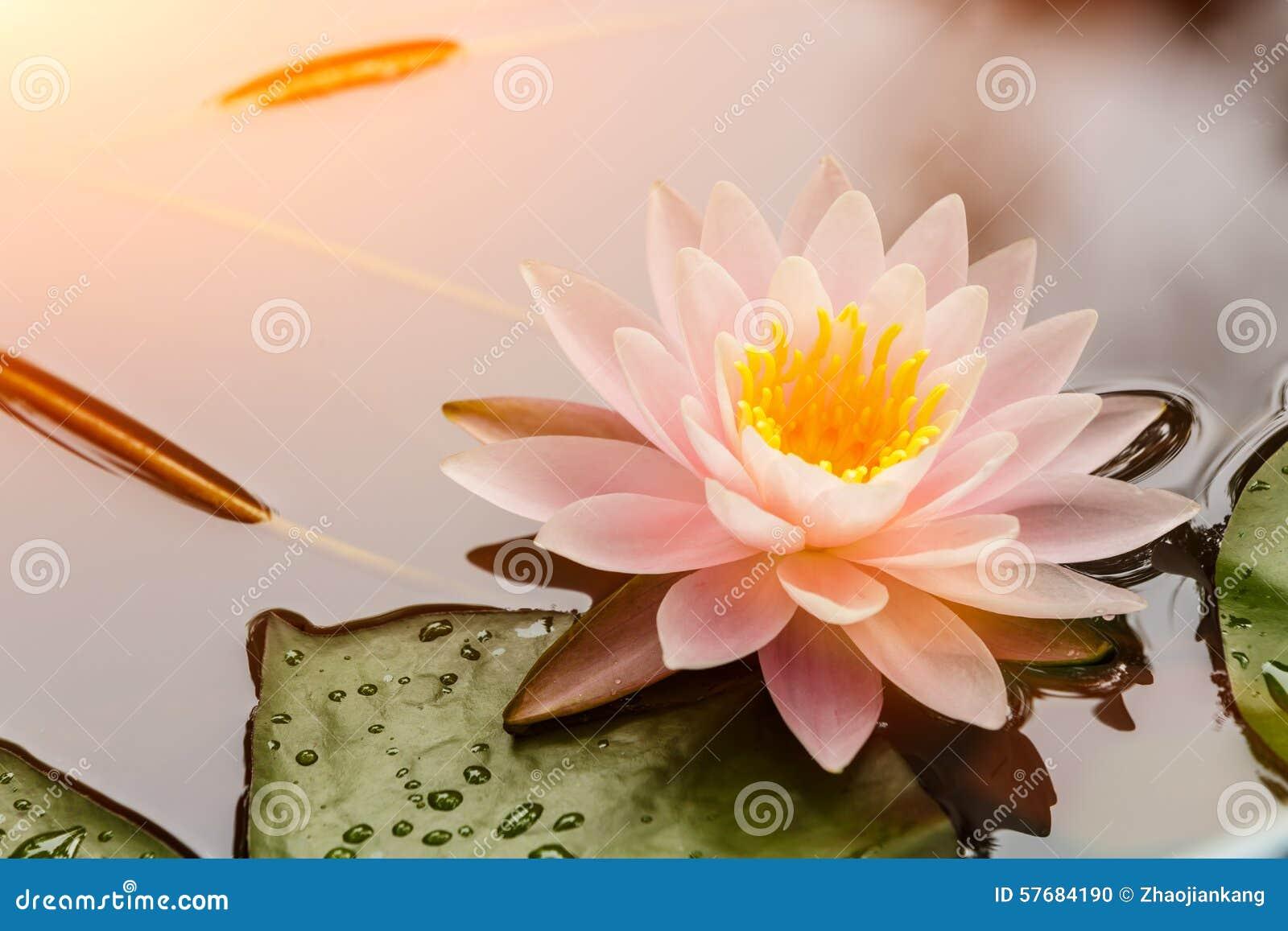 Flor de lótus que floresce na lagoa