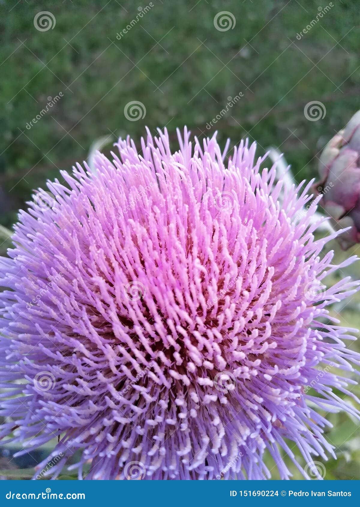 Flor de la alcachofa ningún filtro