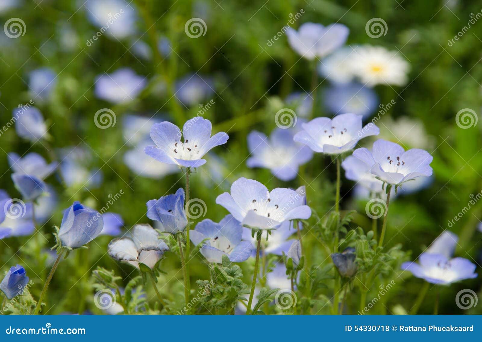 Flor de la armonía de Nemophila