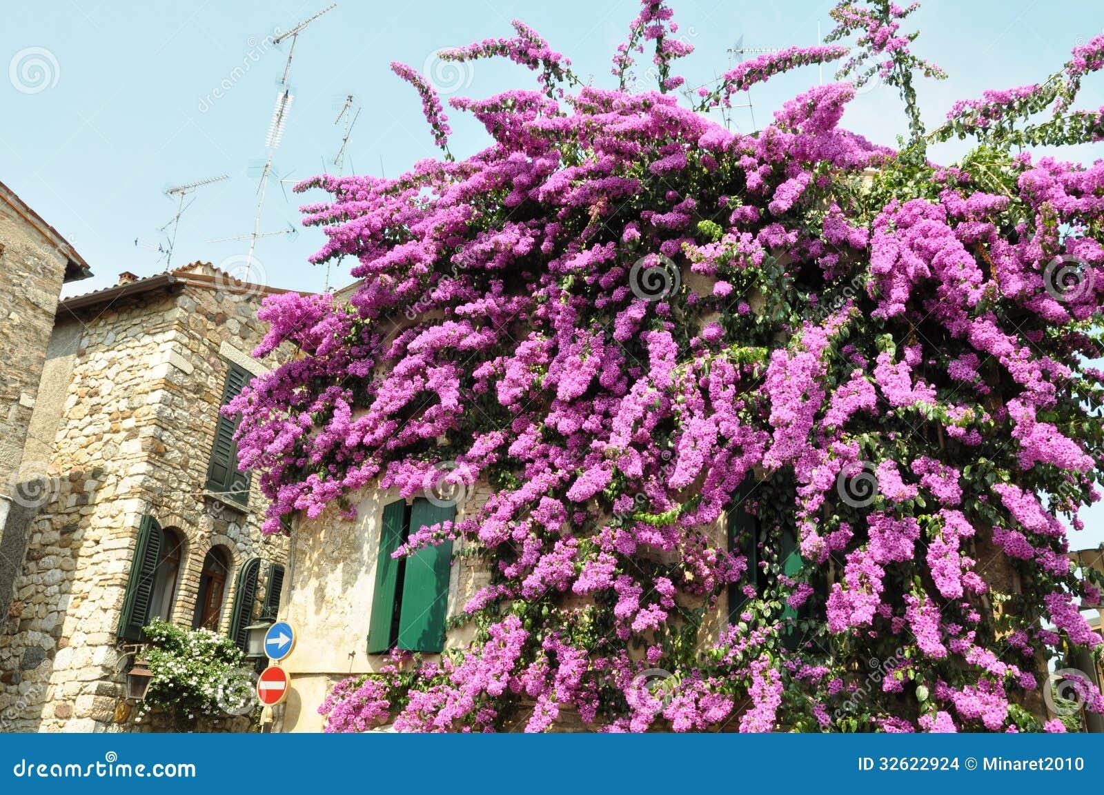 Flor de la buganvilla en la pared del hause en sirmione imagenes de archivo imagen 32622924 - La buganvilla ...