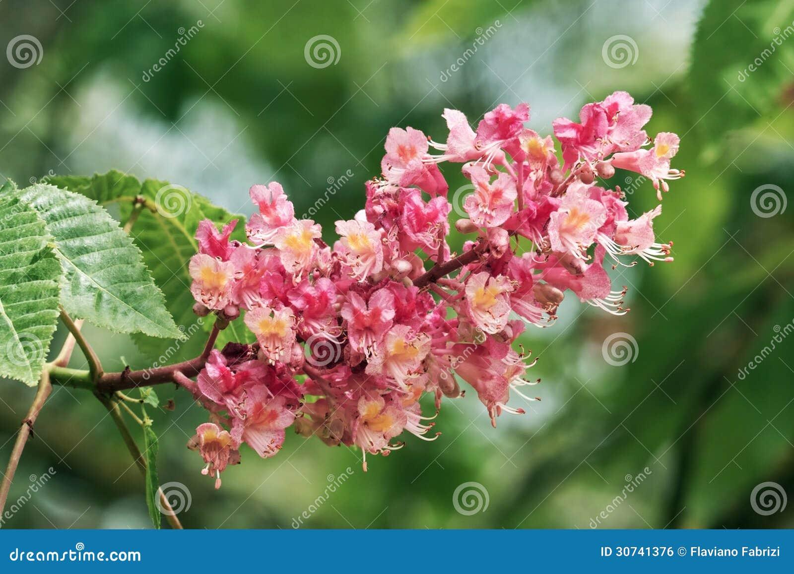 Flor de la castaña roja