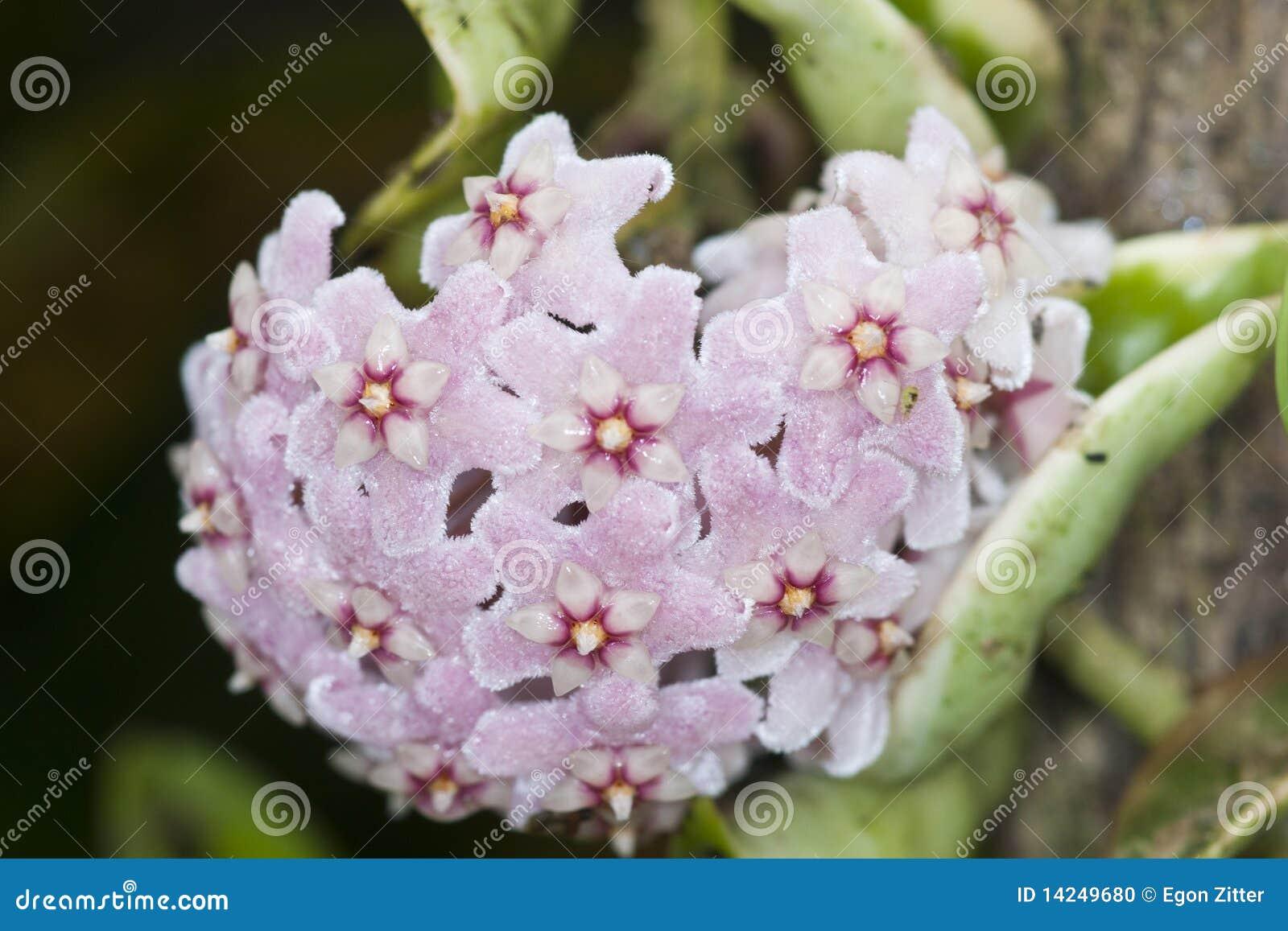 Flor de la cera de Hoya