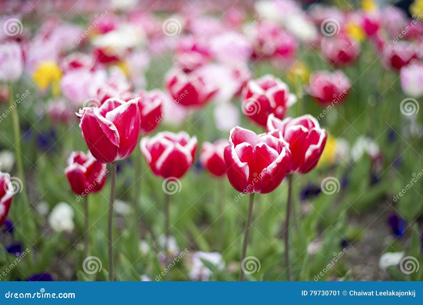 Flor de la flor del tulipán