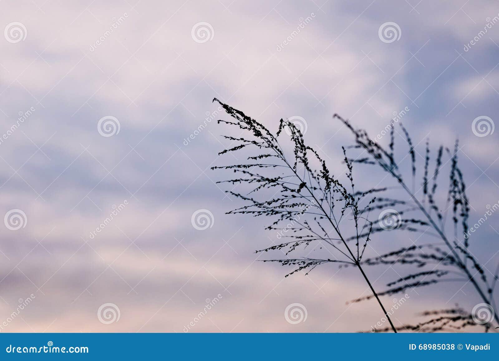 Flor de la hierba del Poaceae en crepúsculo
