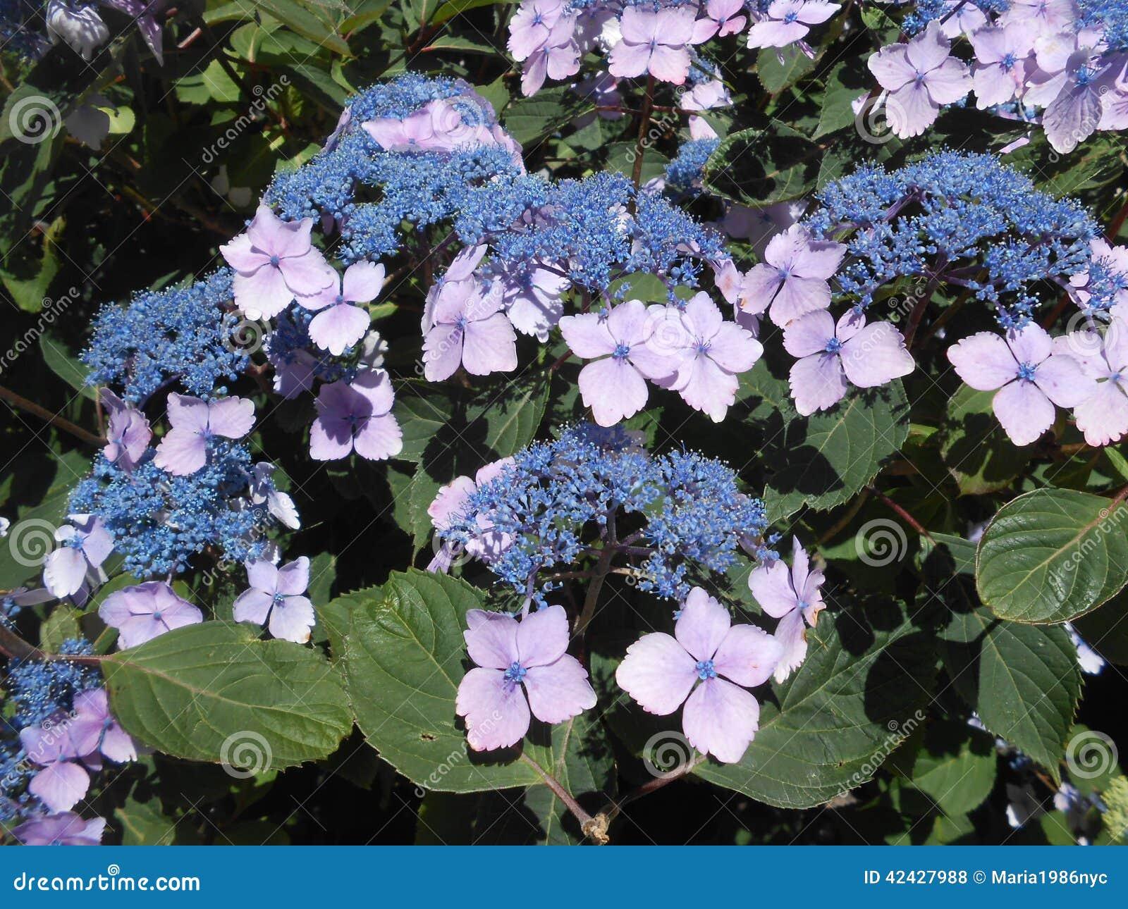 Flor de la hortensia en Brighton Beach, Nueva York