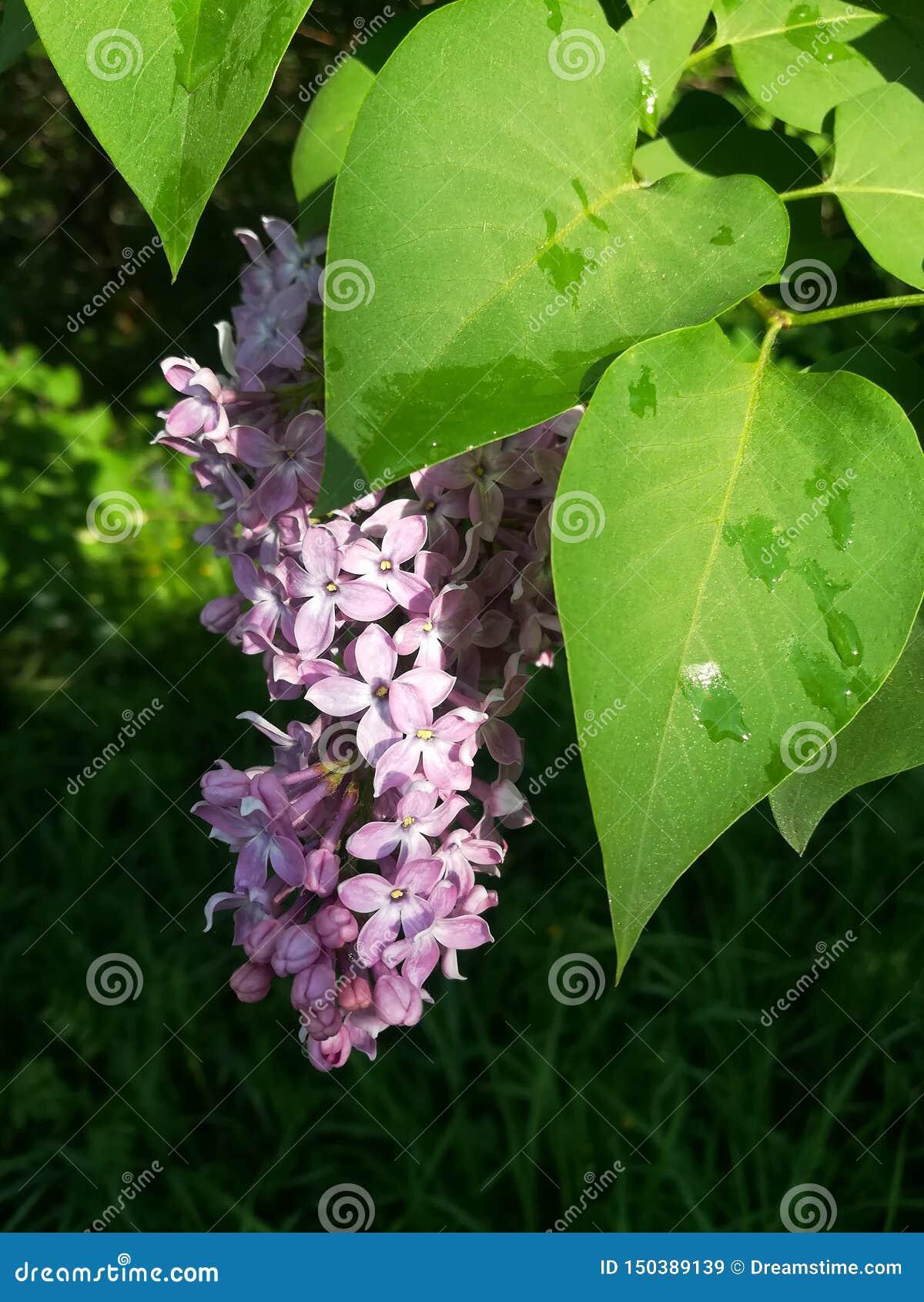 Flor de la lila después de la lluvia