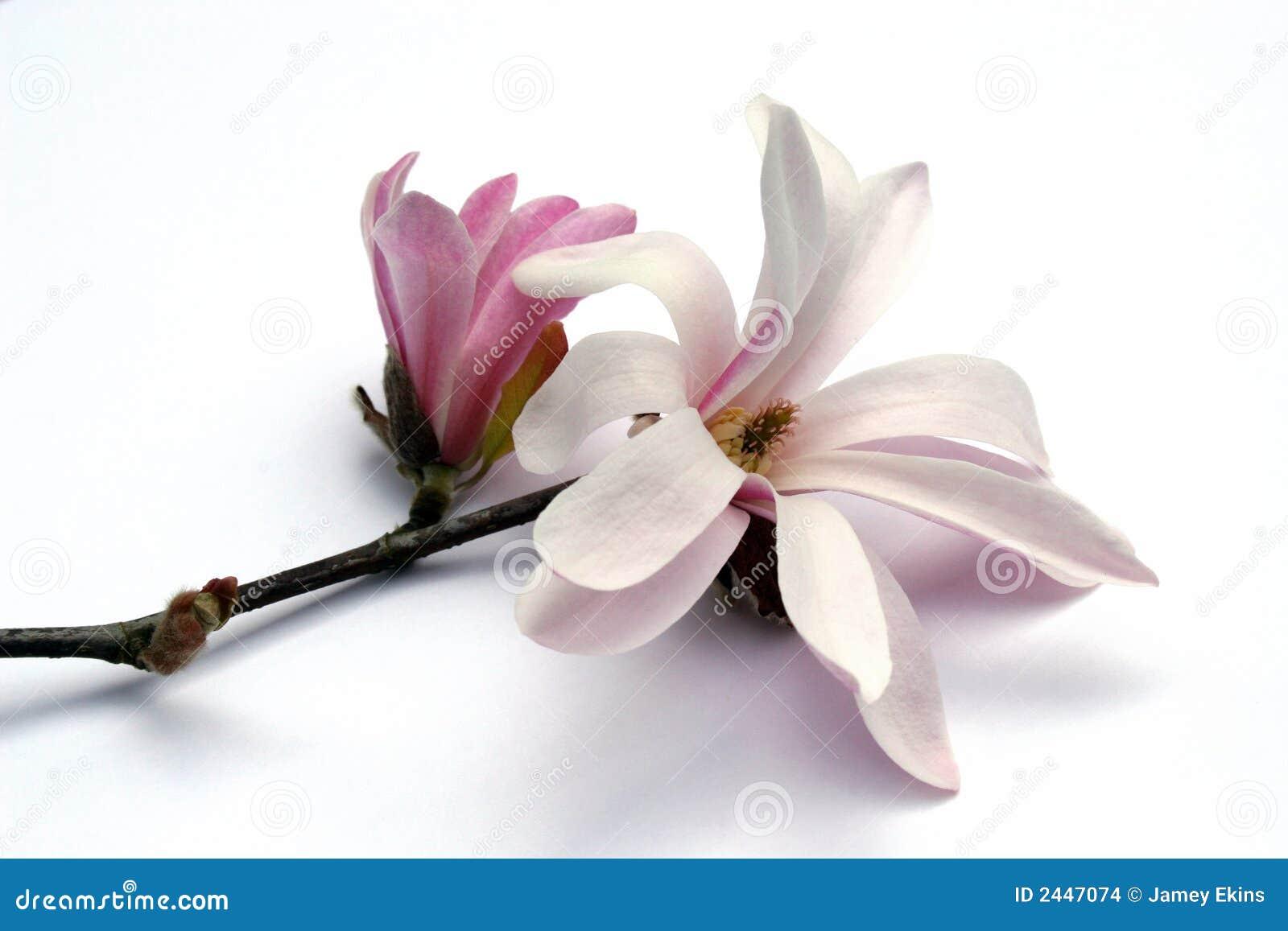 Flor blanco y rosado de la magnolia en la ramificaciu00f3n.