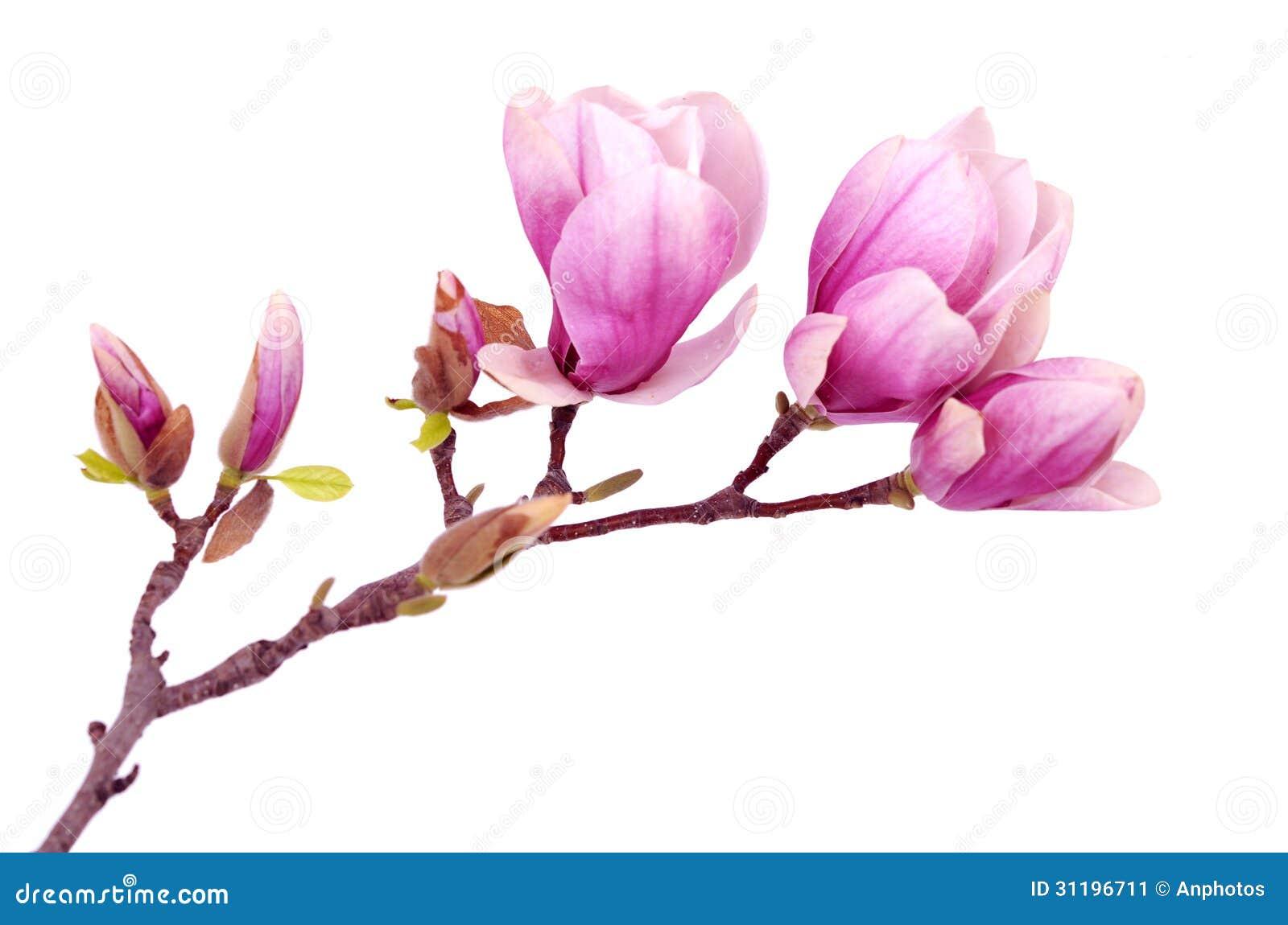 Flor de la magnolia