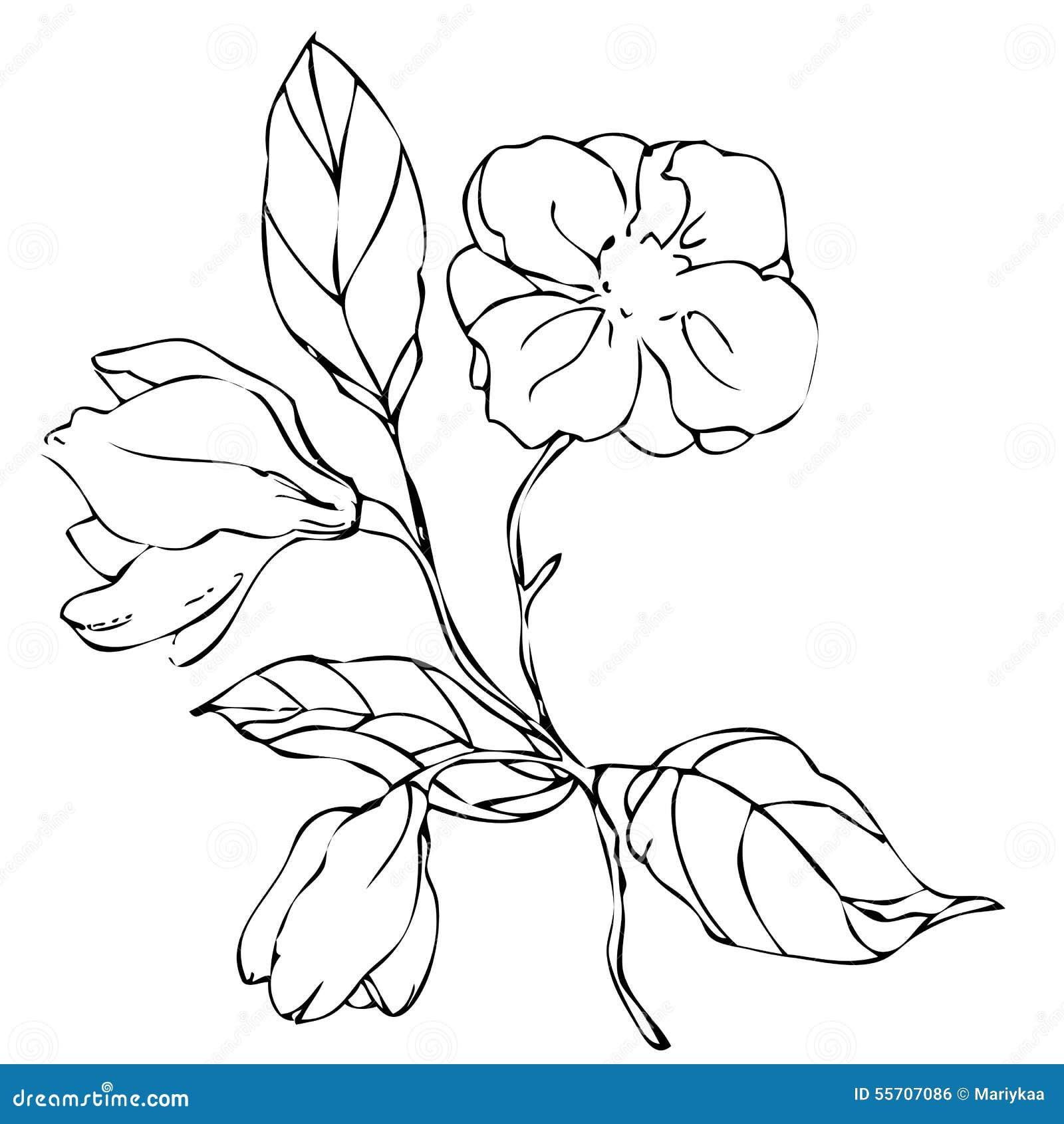 Flor De La Magnolia Del Dibujo De La Mano Del Vector