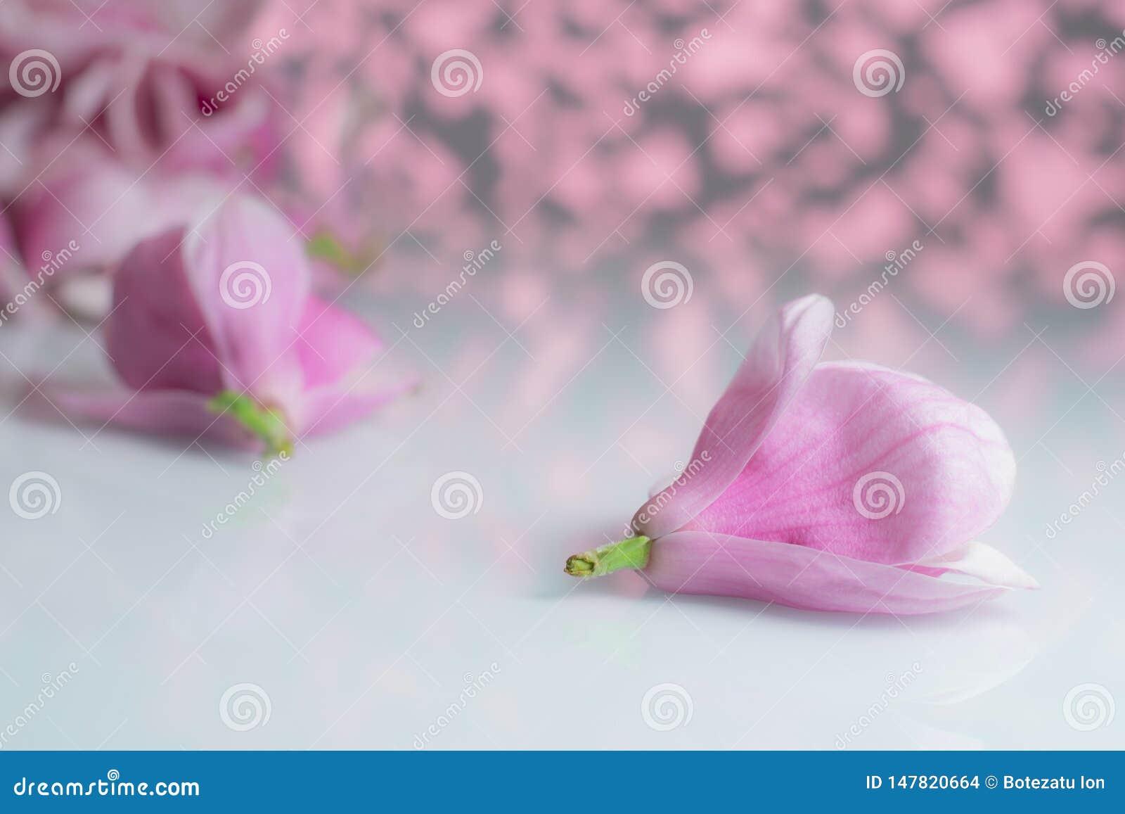 Flor de la magnolia en un tablero blanco