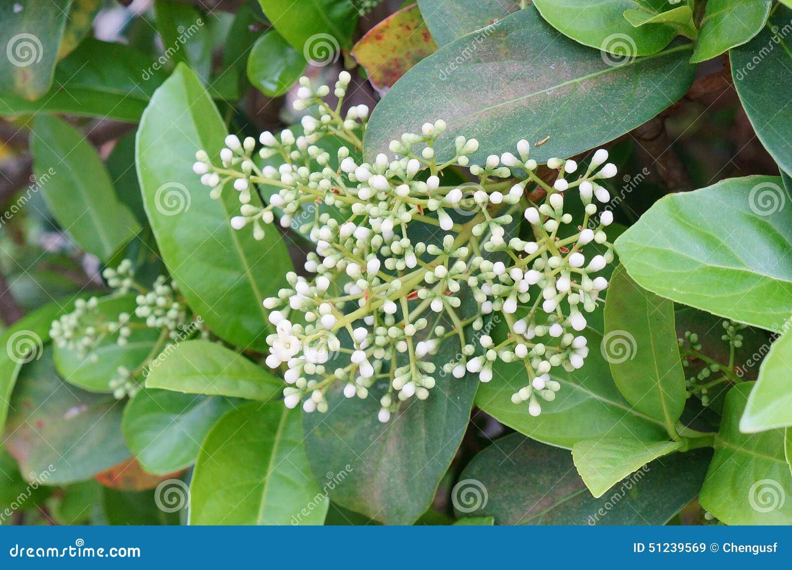 Flor de la mala hierba de cocodrilo