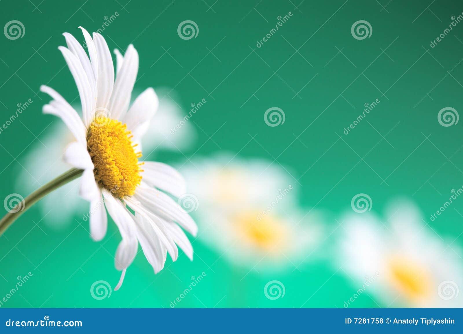 Flor de la manzanilla