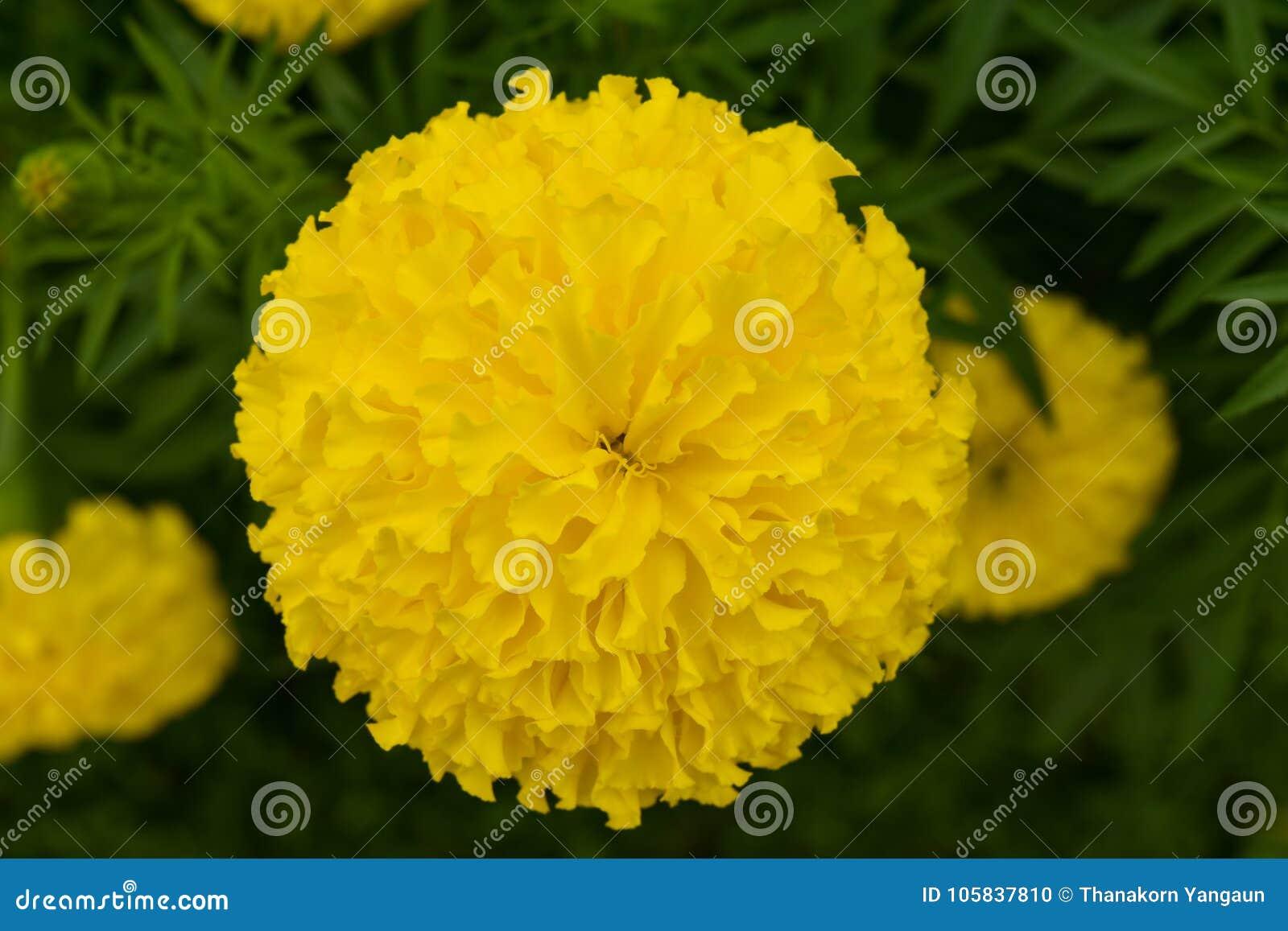 Flor de la maravilla