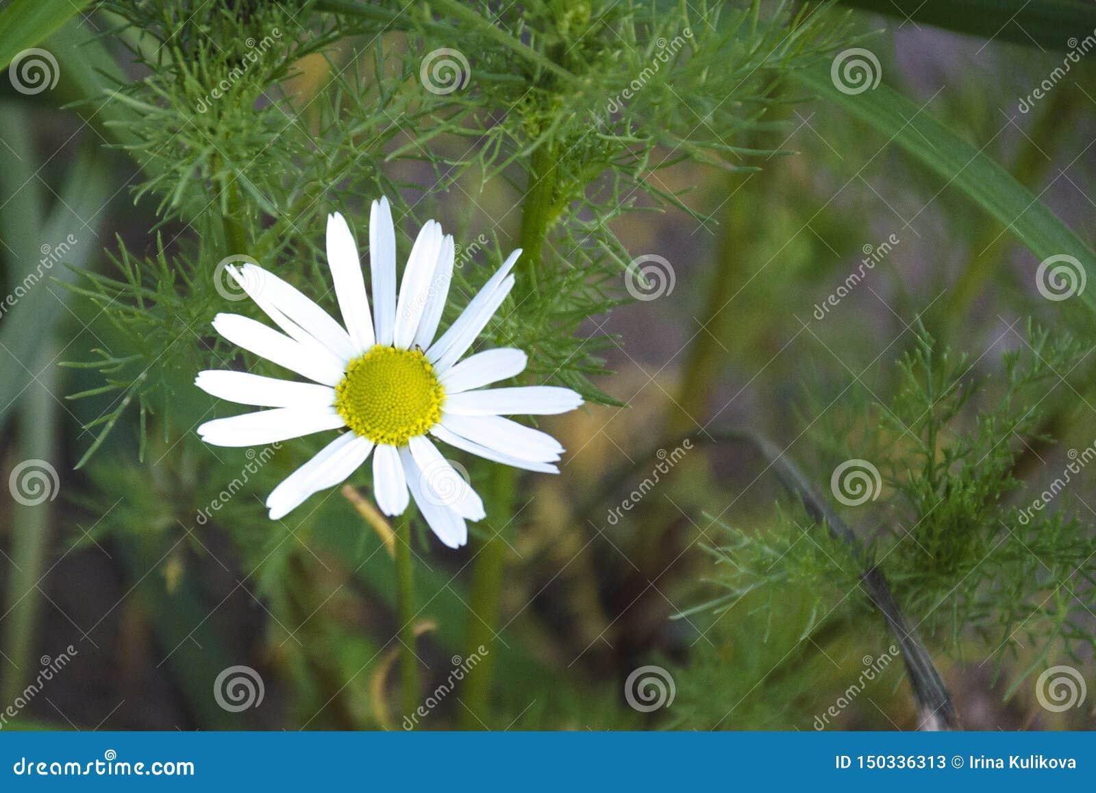 Flor de la margarita en fondo borroso de la hierba verde