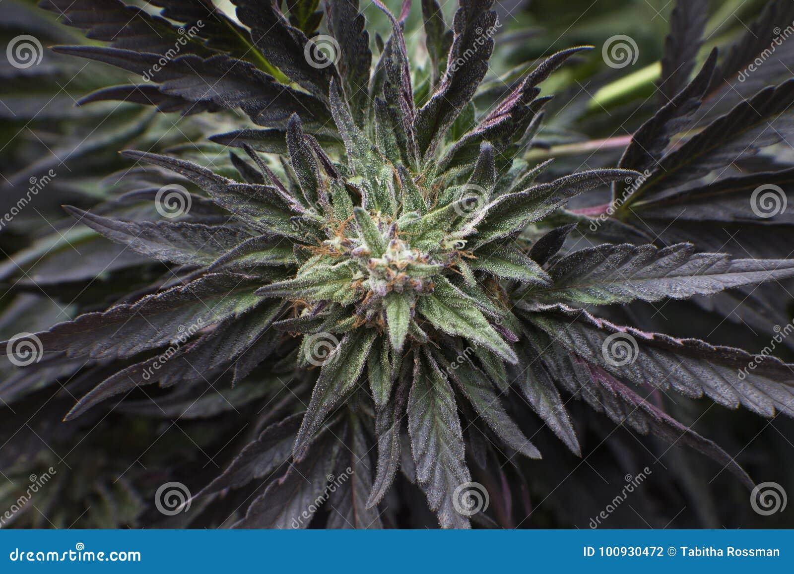 Flor de la marijuana