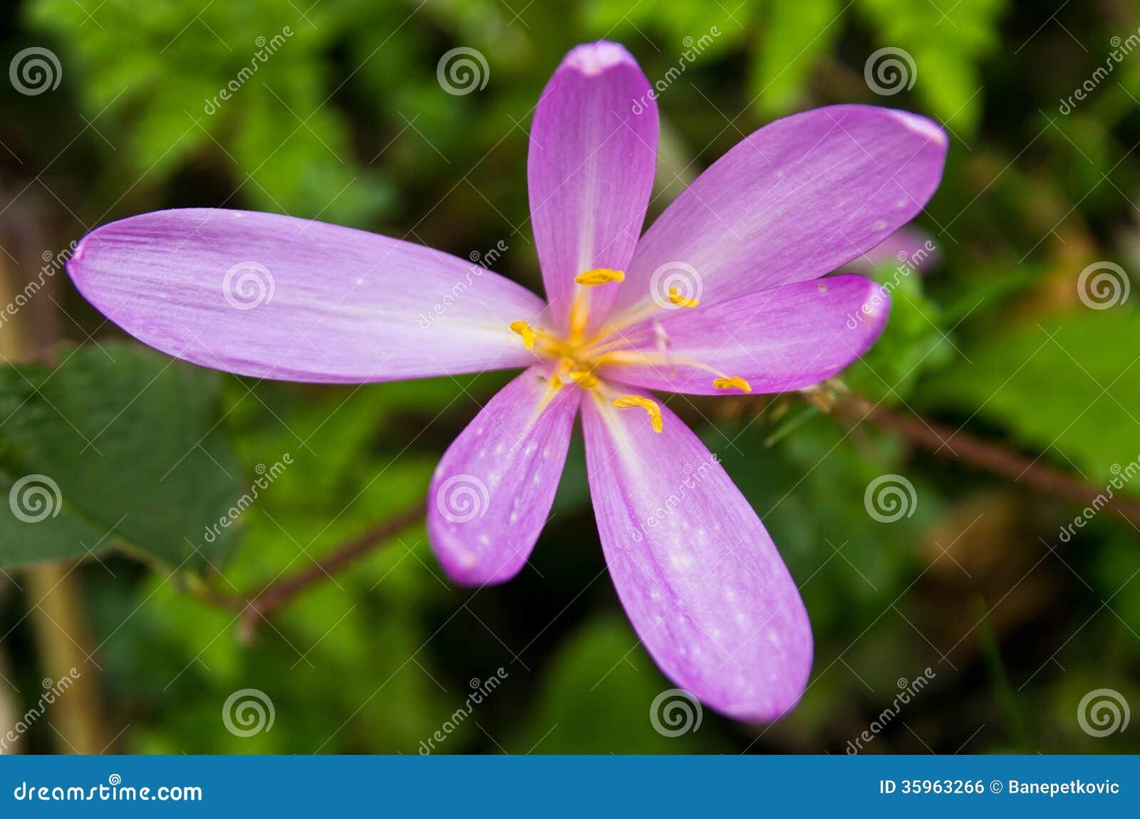 Flor de la montaña con el apodo Phoenix en la montaña Bobija