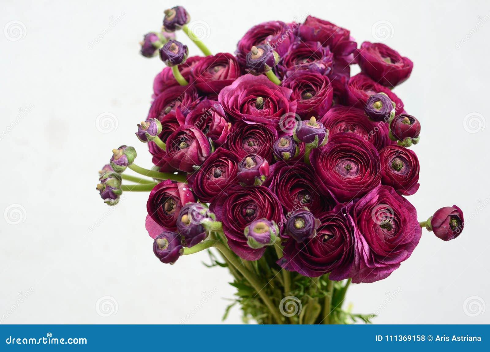Flor de la peonía de Borgoña en el fondo blanco
