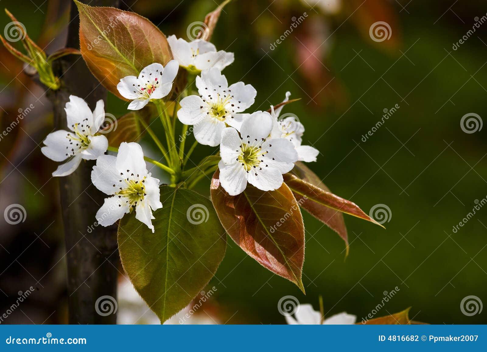 Flor de la pera