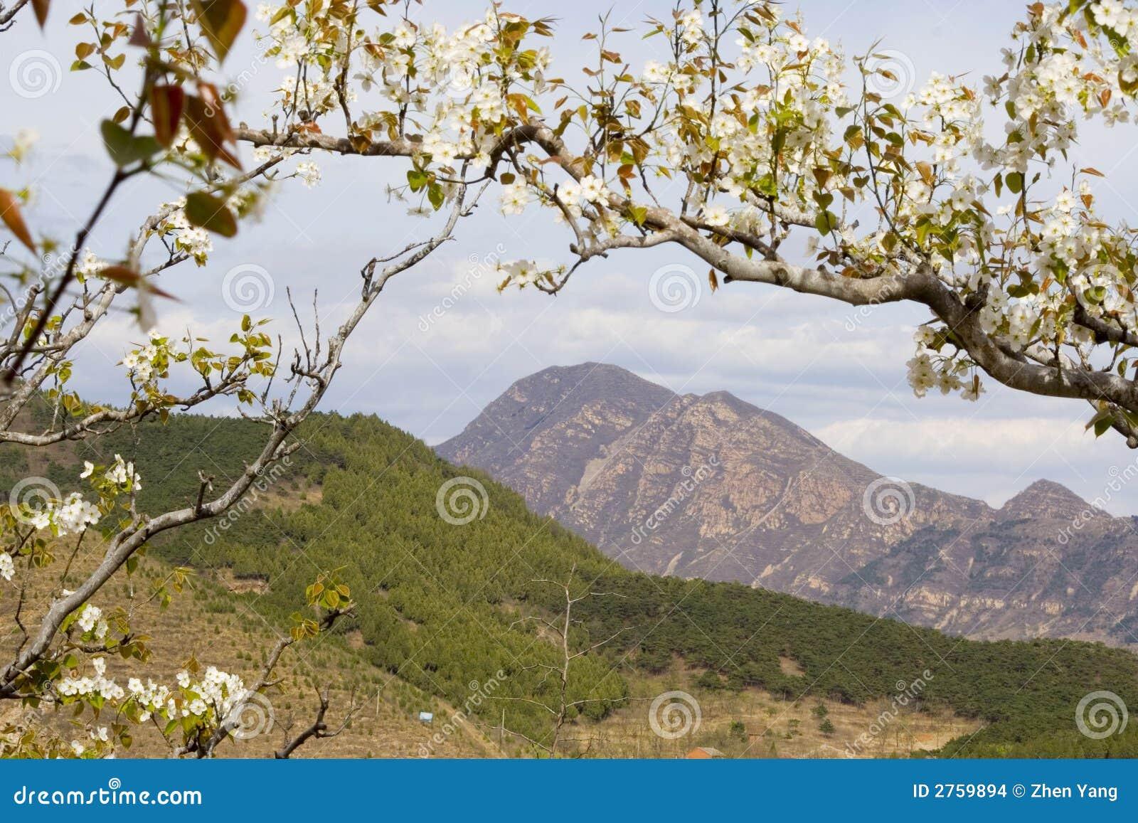 Flor de la pera en montaña